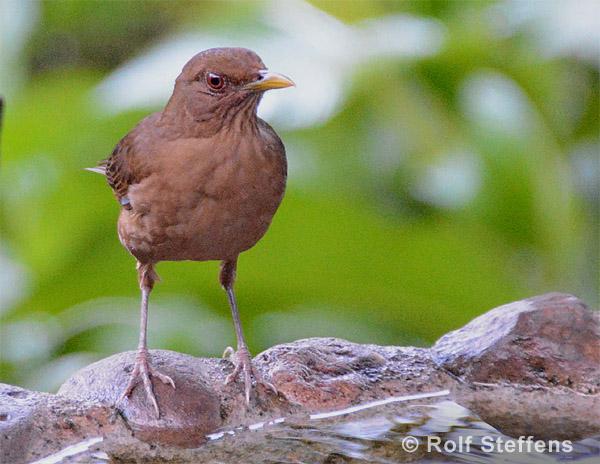 cayaya birding vogelbeobachtung in costa rica bericht einer ornitour im november 2015. Black Bedroom Furniture Sets. Home Design Ideas