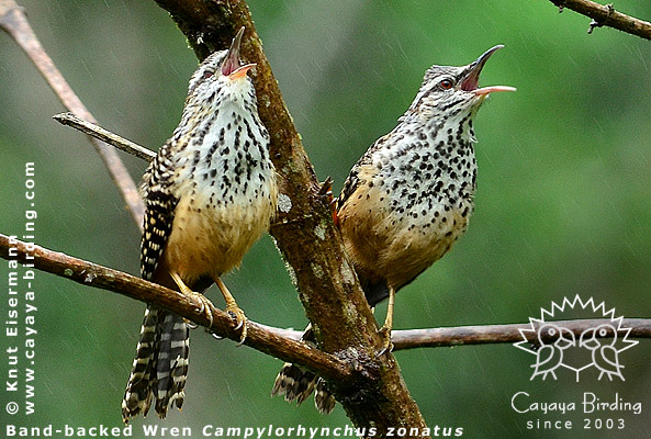 Zaunkonige Guatemalas Von Cayaya Birding