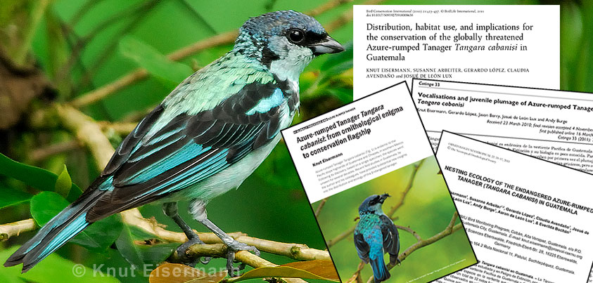 Study of the natural history of Azure-rumped Tanager