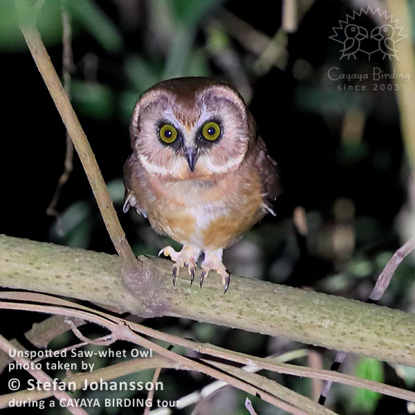 Unspotted Saw-whet Owl