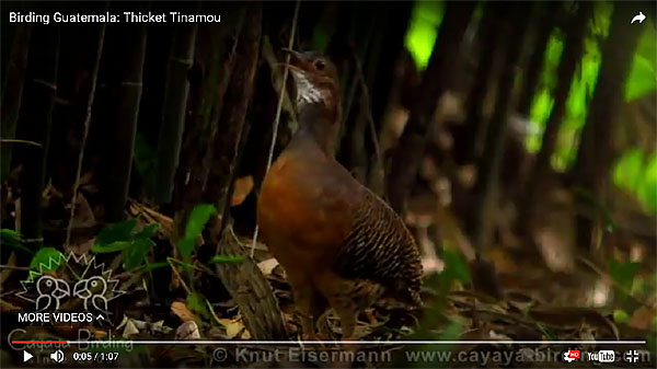 Video of singing Thicket Tinamou